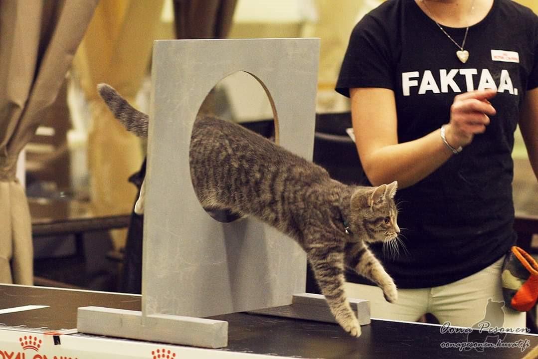Kissan kouluttaminen ja agility