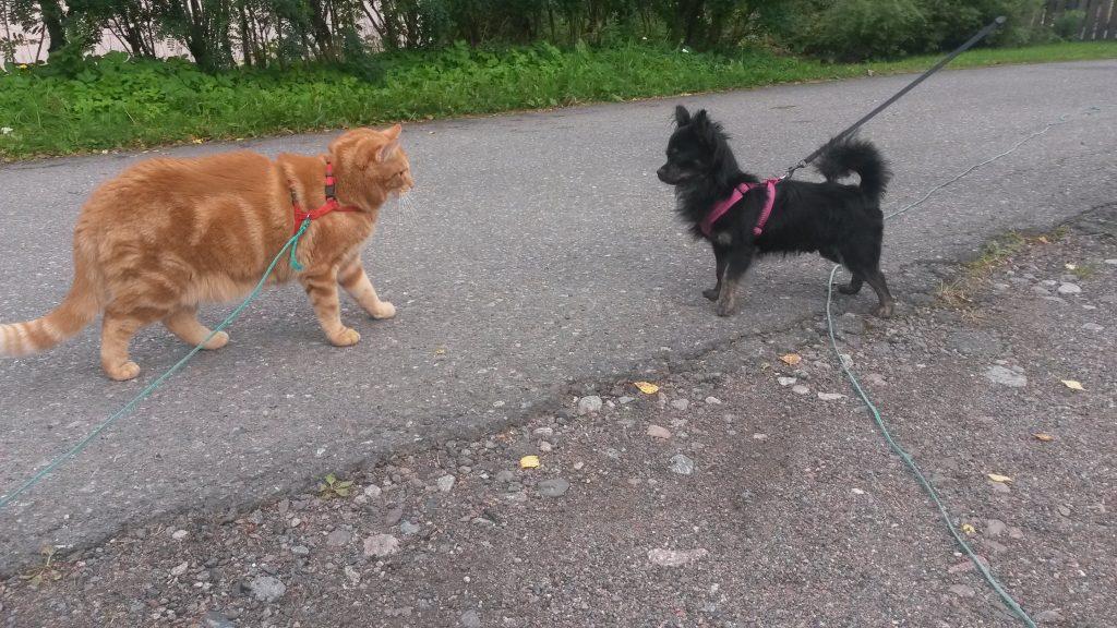 kissa kohtaa koiran