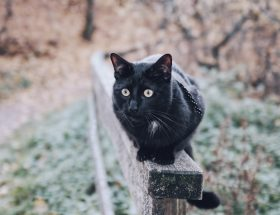mustien kissojen myytit