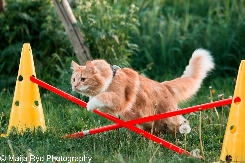 Kissa agility