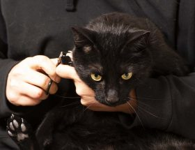 Kissan kynsien leikkuu